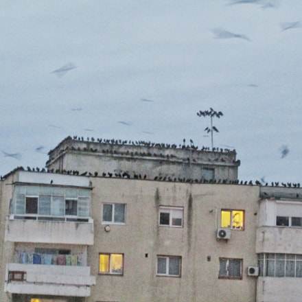 Flock of crows , Canon POWERSHOT SX160 IS