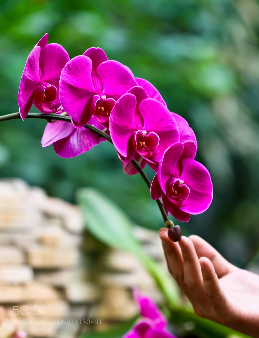 Photograph Phalaenopsis by Qi Zhi on 500px