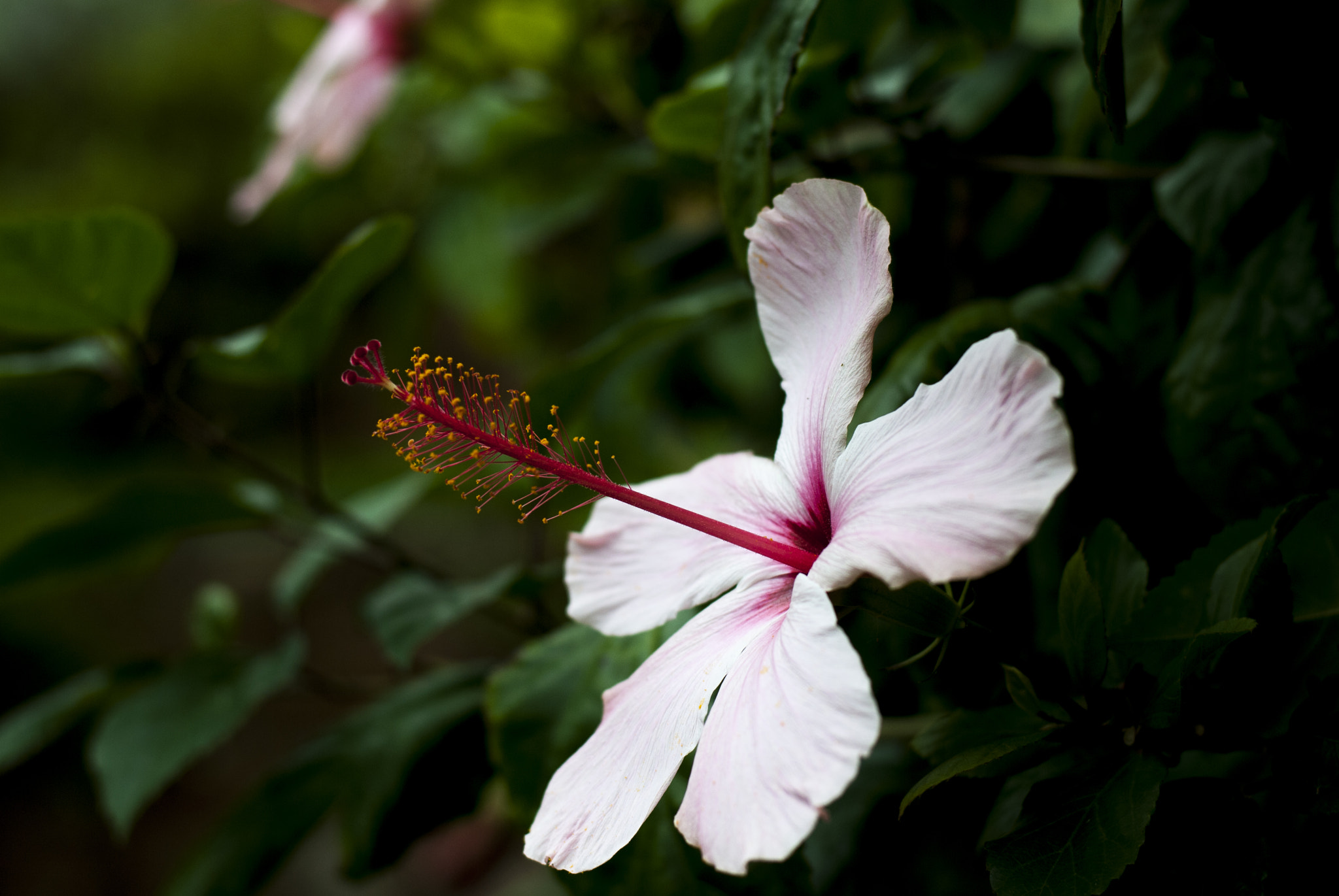 Photograph Hibiscus by Silvia Marras on 500px