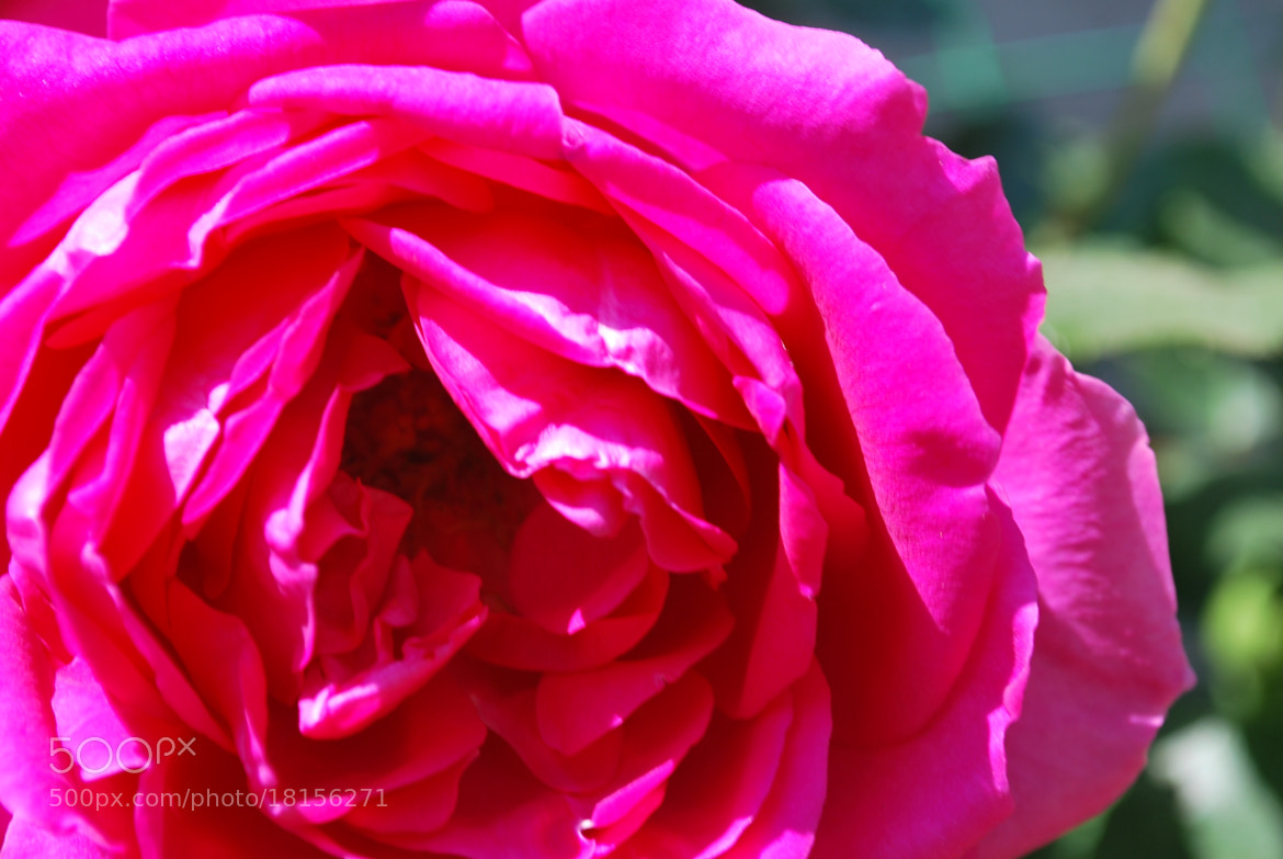 Photograph rose by Antonia Jelic on 500px