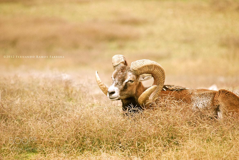 Photograph Single Ram by Fernando Ramos Farrera on 500px