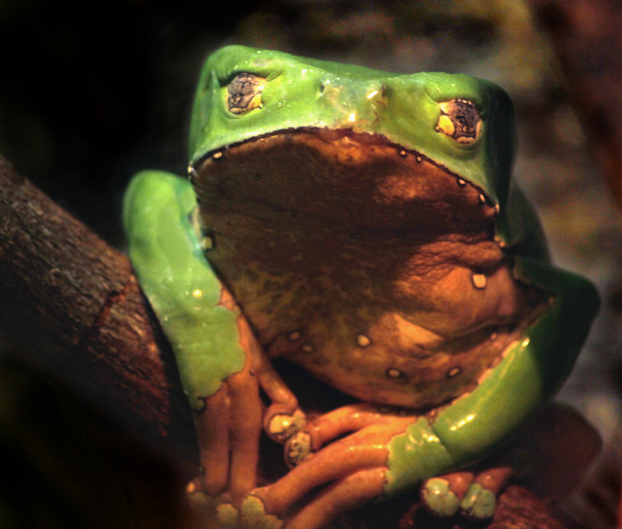 Green Frog With Wild Eyes