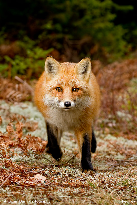 Photograph Red Fox!! by Anupam Dash on 500px