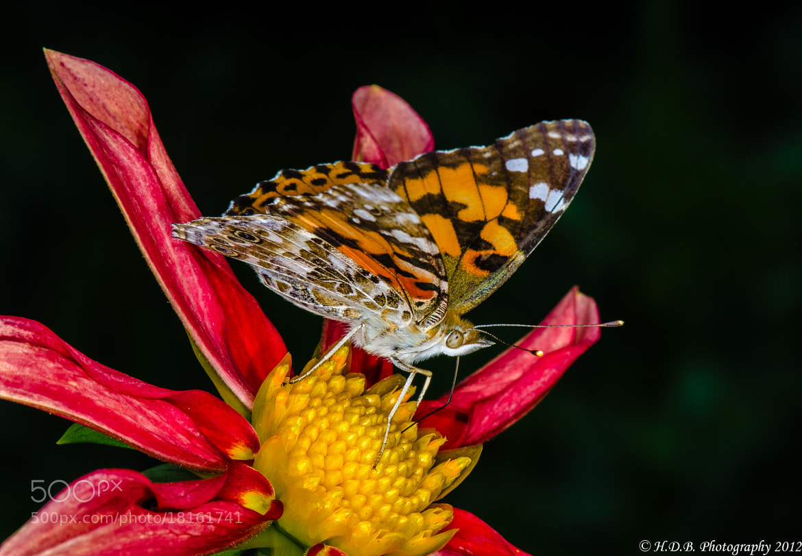 Photograph Painted Lady by Harold Begun on 500px