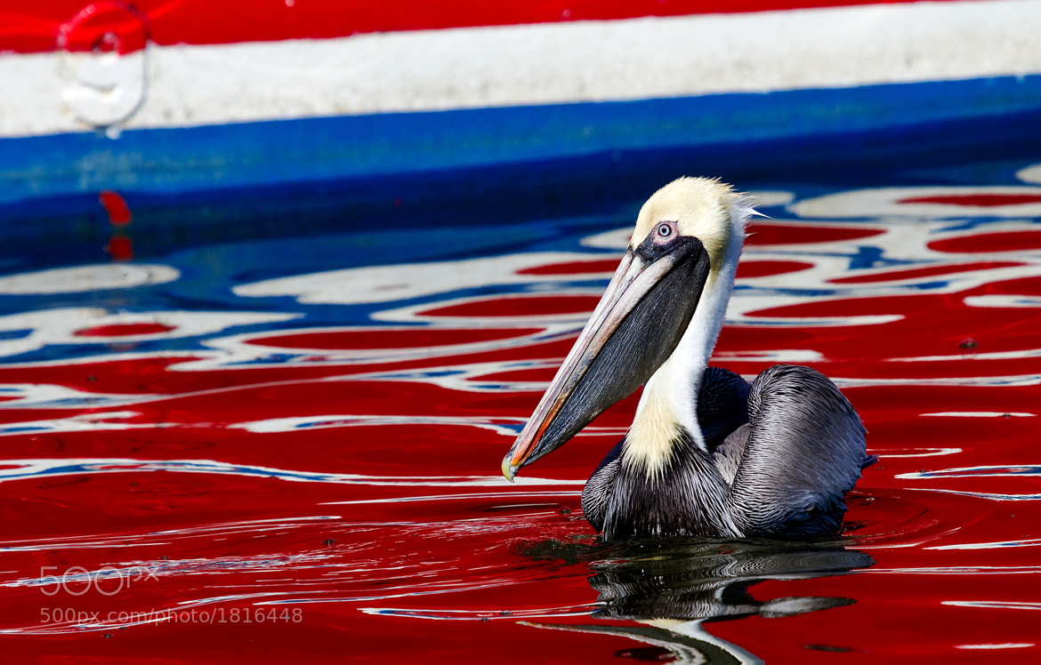 Photograph Patriotic Pelican by Lee Miller on 500px
