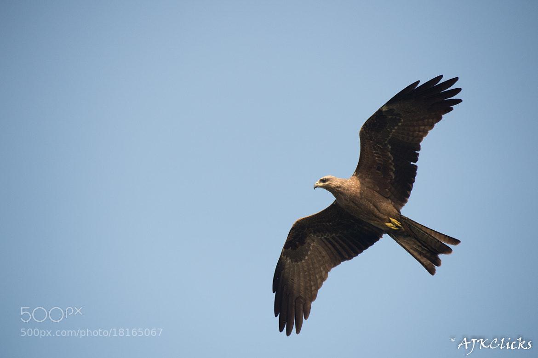 Photograph Black Kite by AJK Clicks on 500px