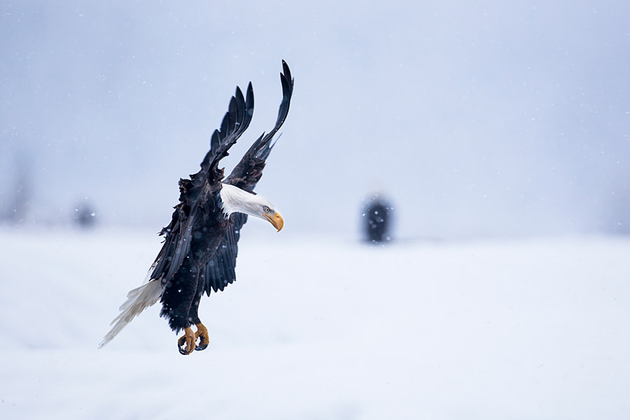 Photograph Bald Eagle landing in snowstorm by Nicolas Dory on 500px