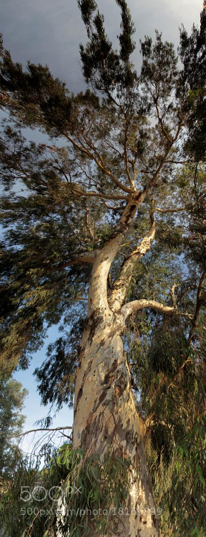 Photograph Eucaliptus by Juan Postigo on 500px