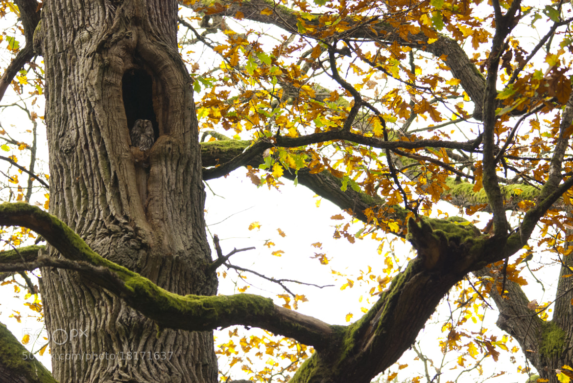 Photograph oak tree resident by Anne-Katrin Gerner on 500px