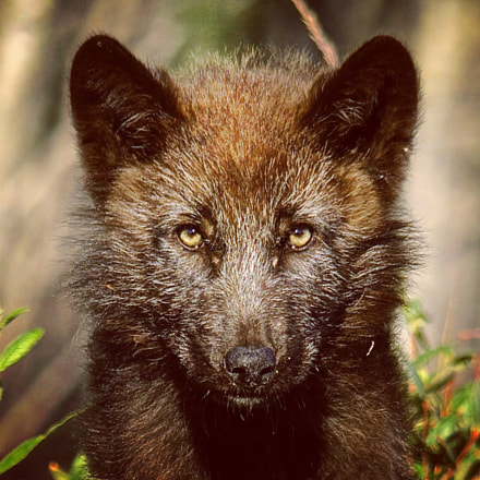 Wolf pup stares right through the camera as it waits by the den for the pack to return