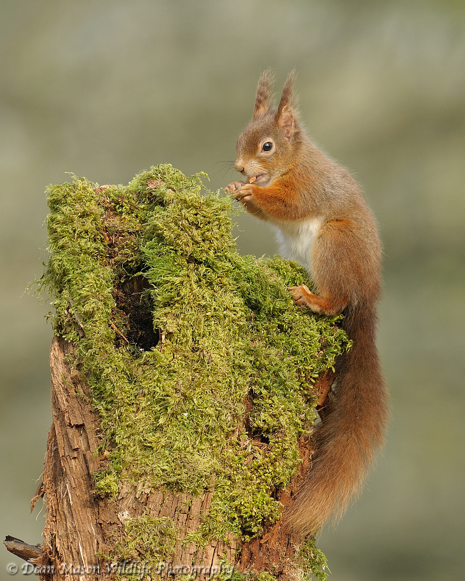 Photograph Red Squirrel by Dean Mason on 500px