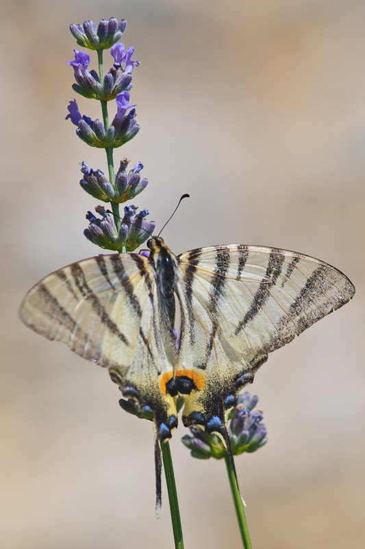 Photograph Butterfly and Lavander by Dean Grzanic on 500px