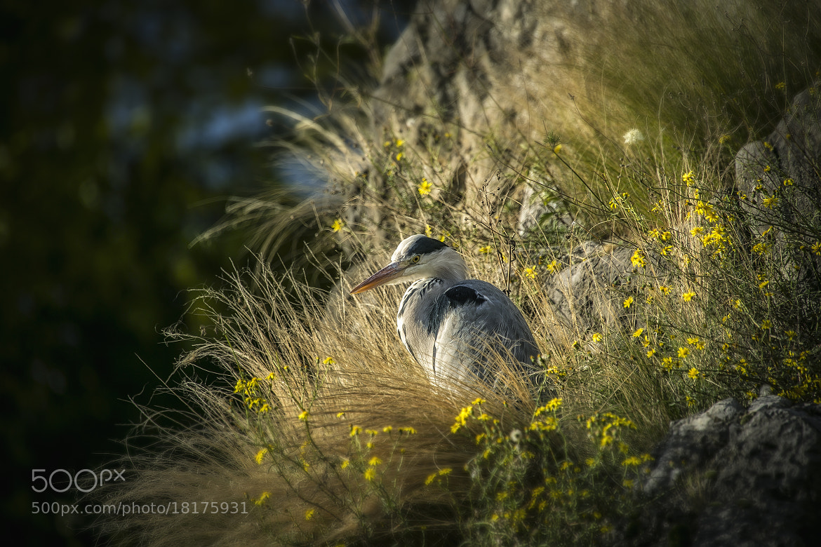 Photograph grey heron by Detlef Knapp on 500px