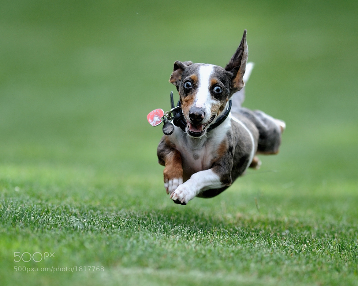 Dog in flight -- Dog photography tips