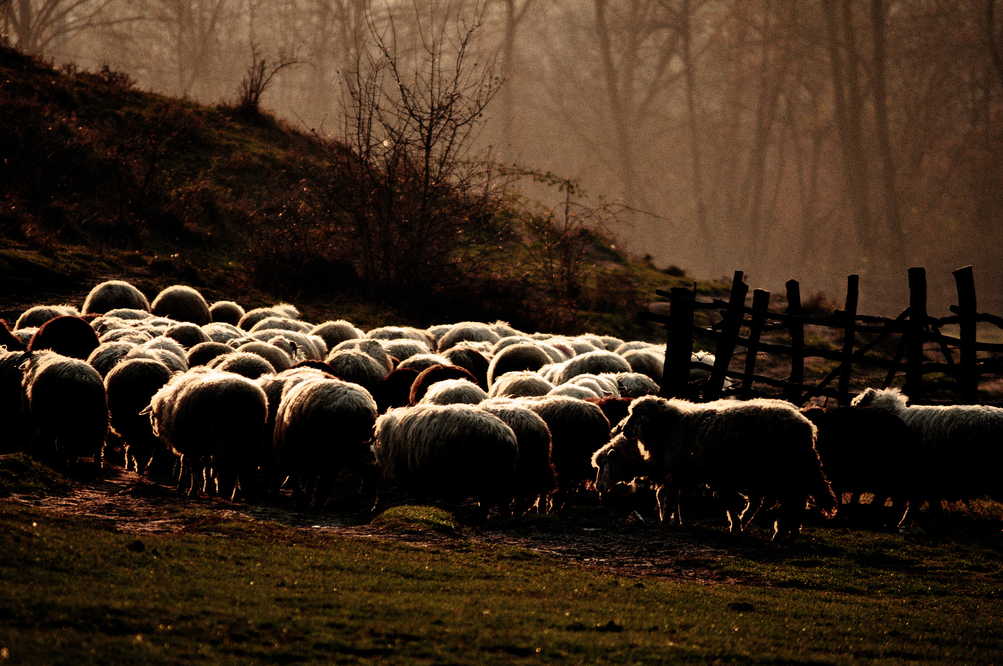 Photograph Sheep by Olivia Dodon on 500px