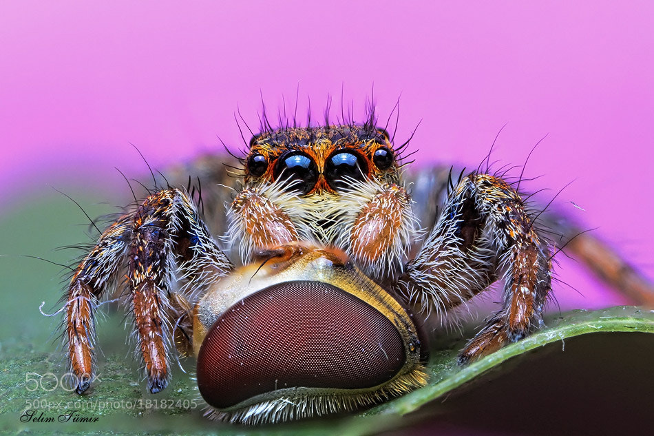 Photograph jumping spider and prey by selim tümir on 500px