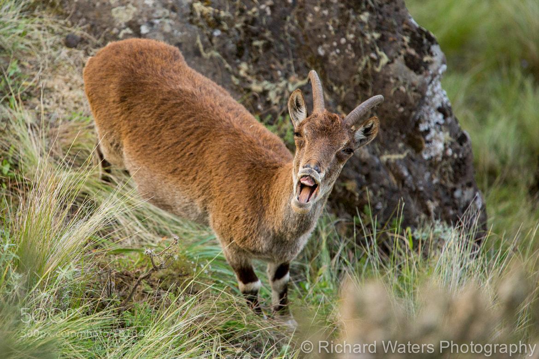 Photograph Walia Ibex by Richard Waters on 500px