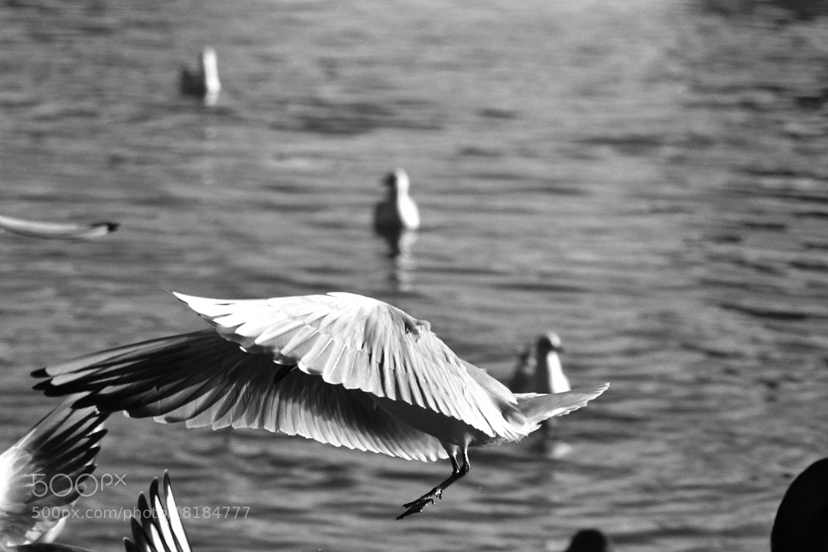 Photograph Wings (B&W) by Christopher Dodd on 500px