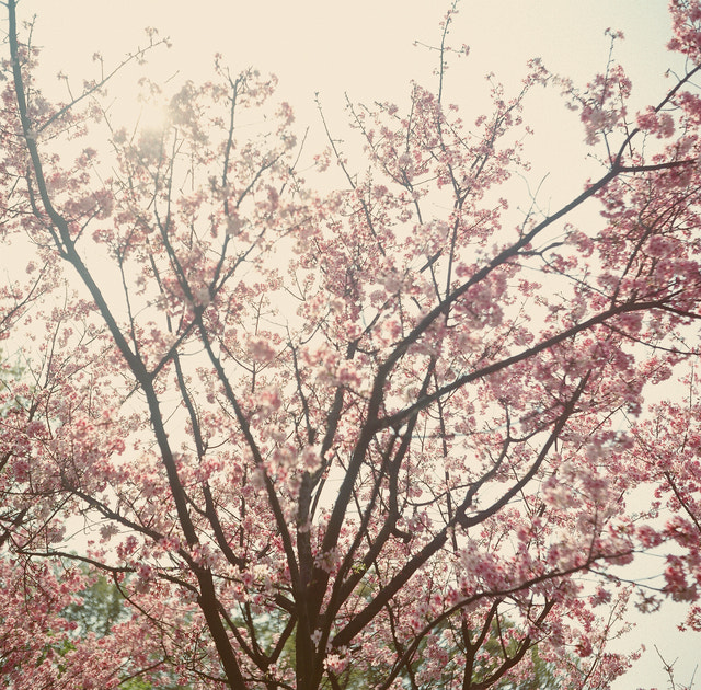 Photograph full bloom by Nicole Huang on 500px
