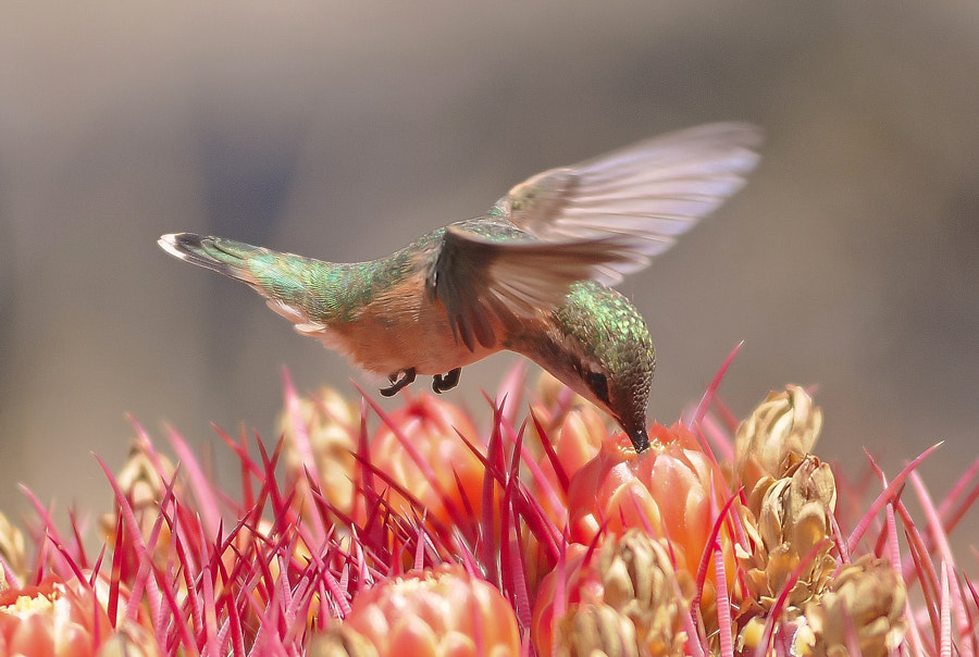 Photograph Hummingbird. by Luis Jaime Leal on 500px