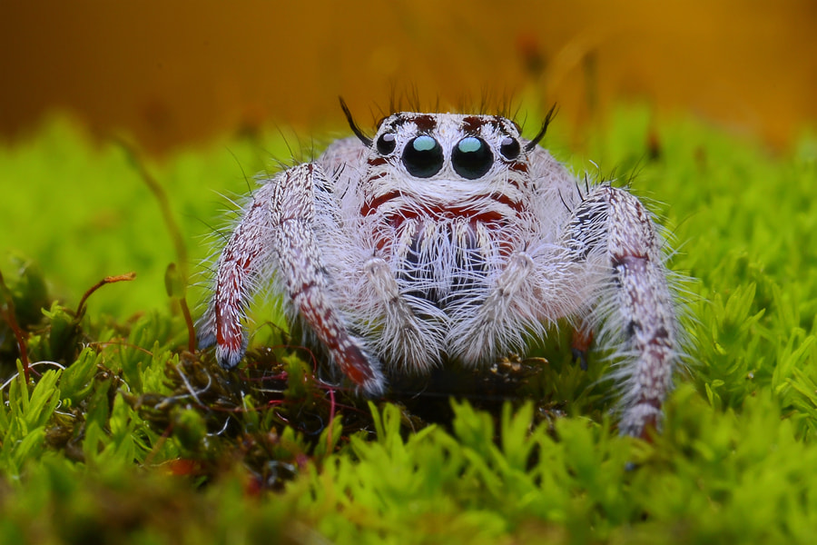 Photograph jumping spider by Tele Nicotin on 500px