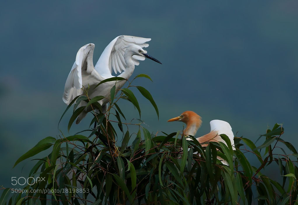 Photograph Egrets  by Dmei Yerri  on 500px