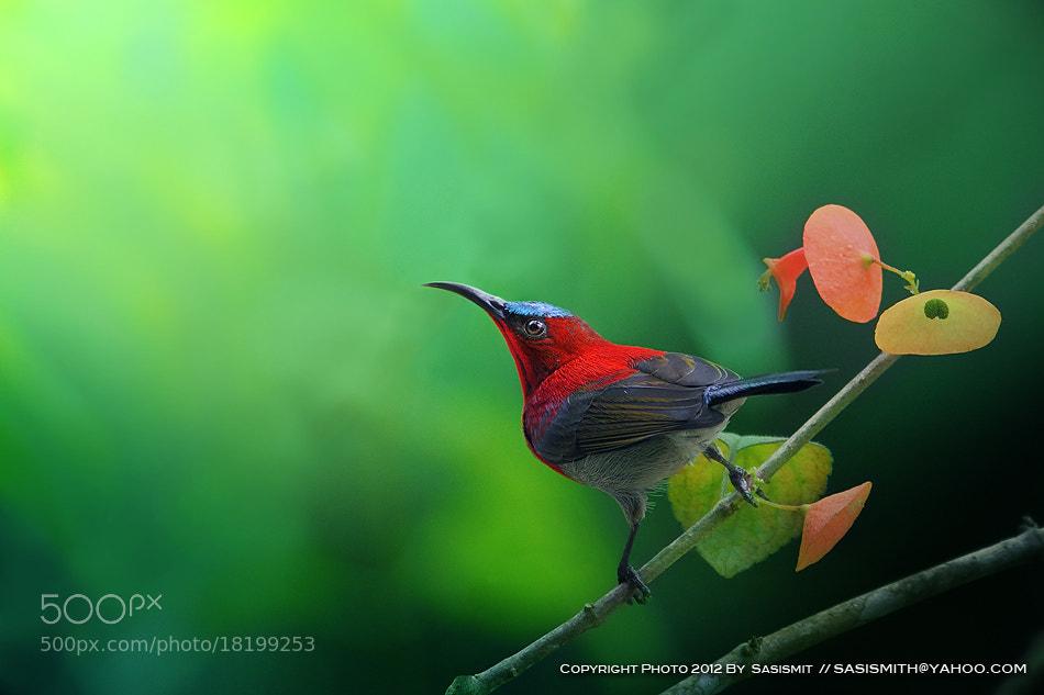 Photograph Sunbird by Sasi - smit on 500px