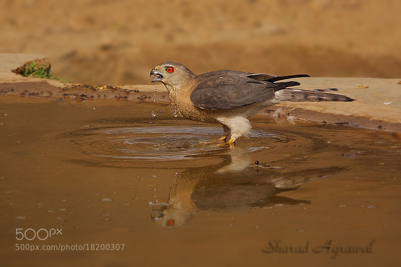 Photograph The Thirsty .... Shikra Accipiter badius  by Sharad Agrawal on 500px