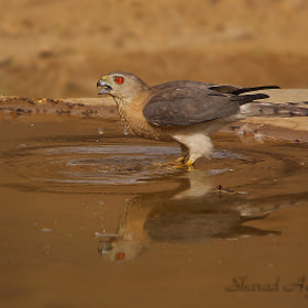 The Thirsty .... Shikra Accipiter badius