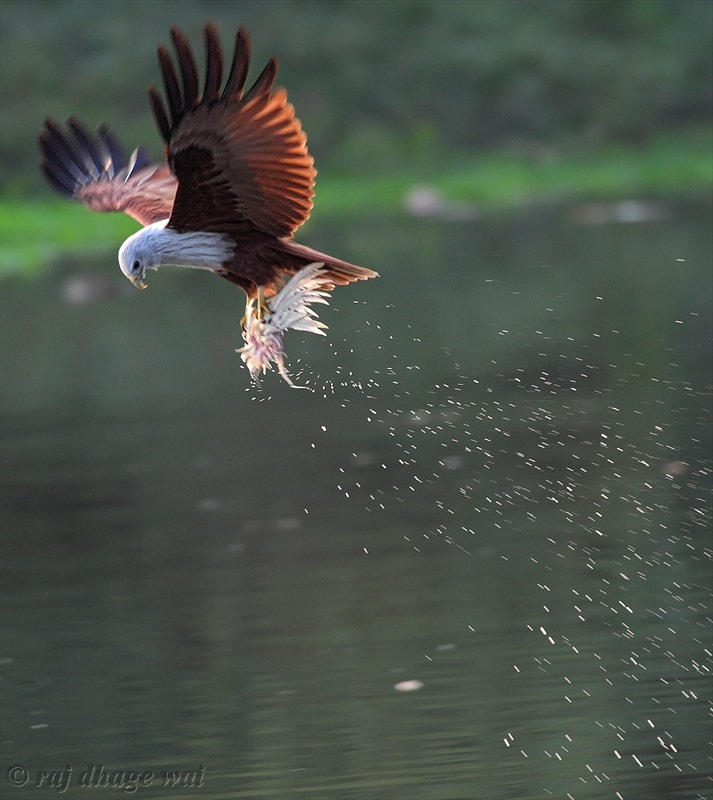 Photograph Brahminy kite by raj dhage on 500px