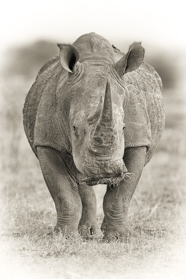 Photograph White Rhino by Mario Moreno on 500px