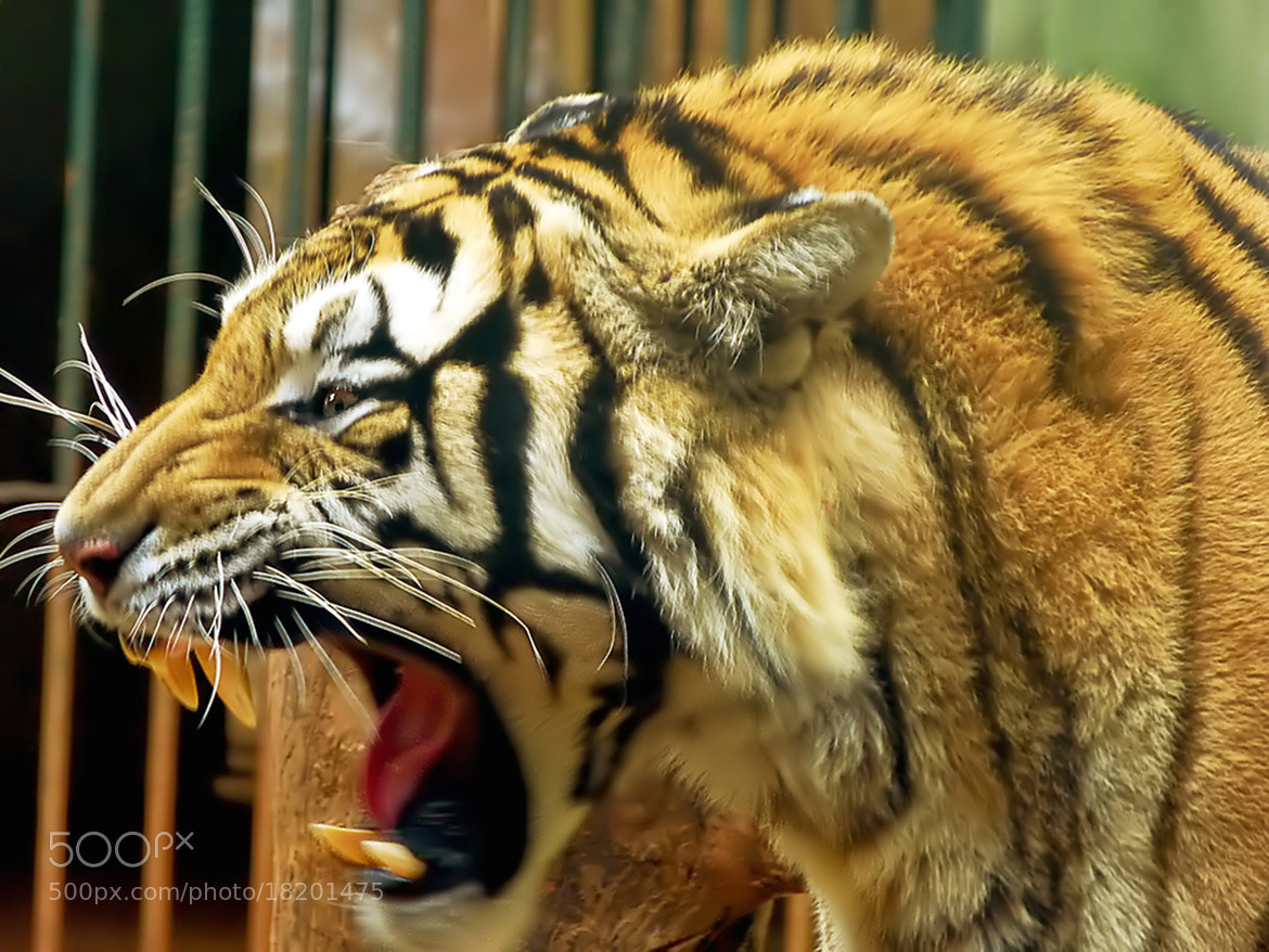 Photograph Bengal Tiger by  Soli Rocha on 500px