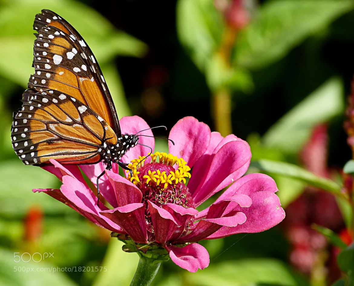 Photograph Monarch Butterfly by Pedro Henrique Evangelista on 500px