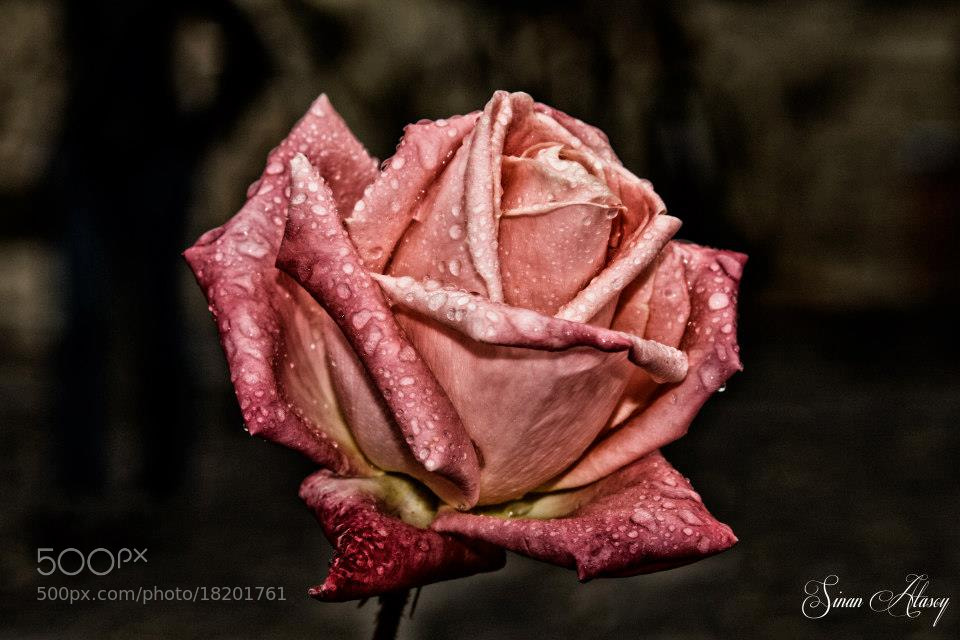 Photograph Wet Rose by Sinan Atasoy on 500px