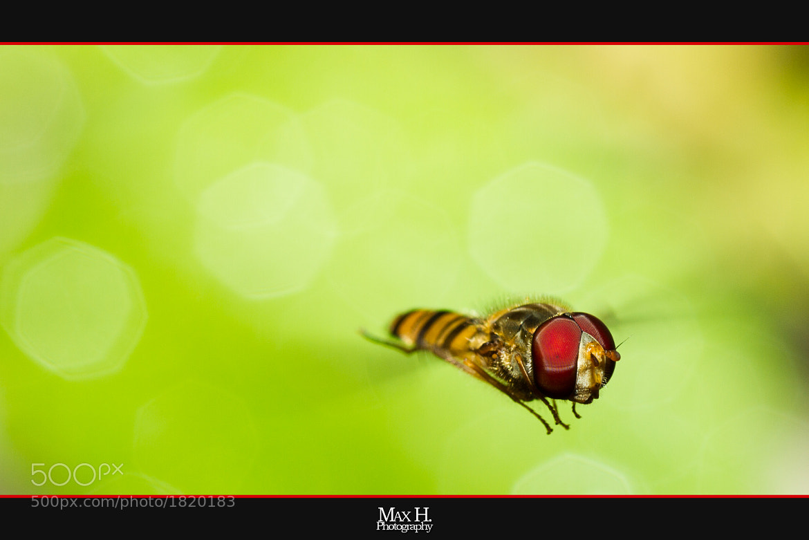 Photograph Hoverfly by Max Habich on 500px