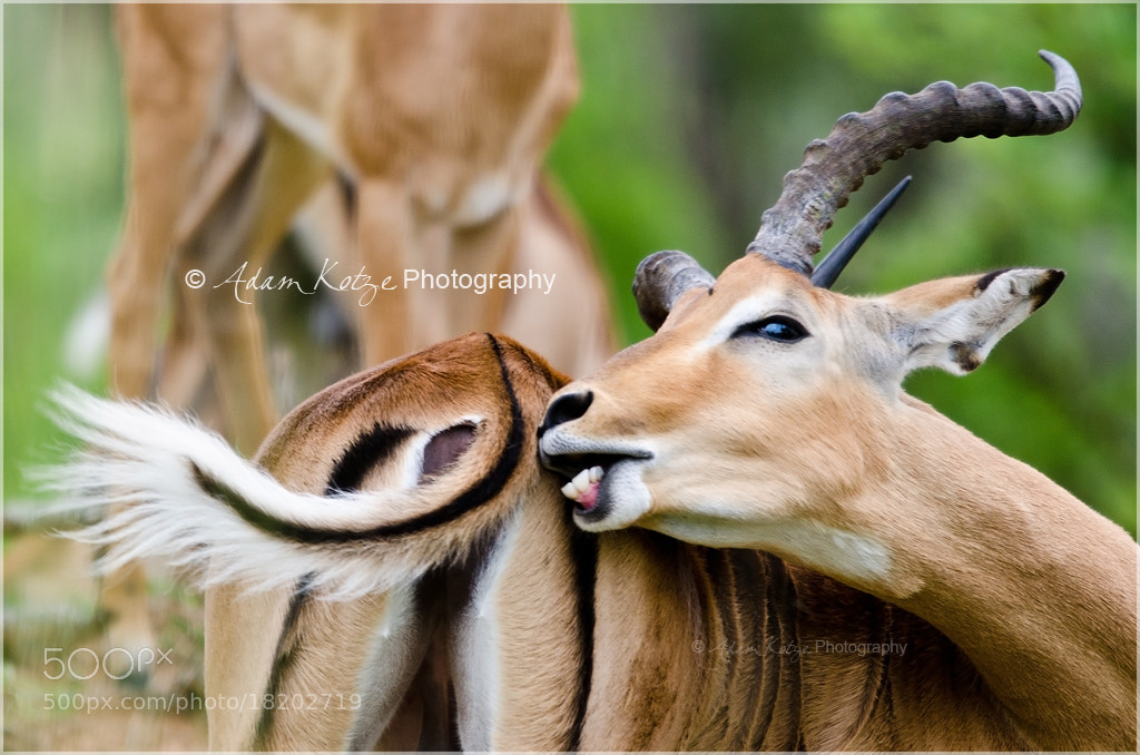Photograph Impala by Adam & Samantha Kotze on 500px