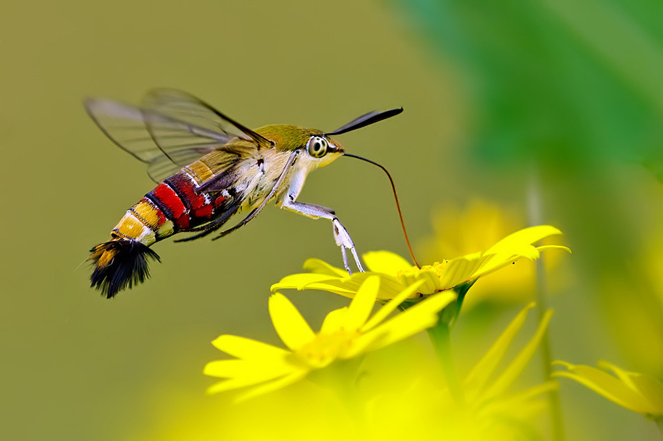 Photograph collecting nectar by Nitin  Prabhudesai on 500px