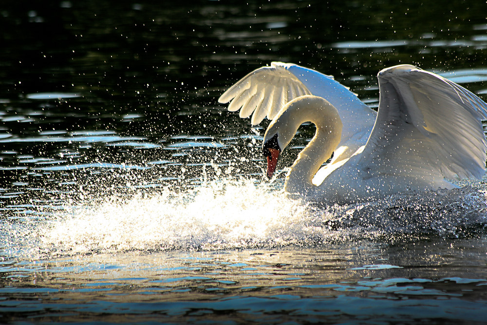 Photograph Swan by Cornell Gill        on 500px
