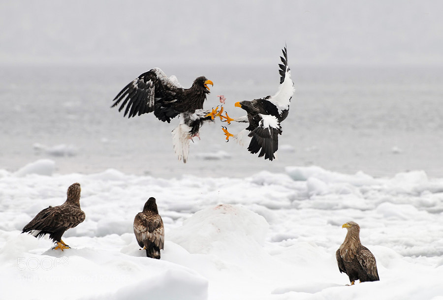 Three White-tailed Eagles seem to be referees at this fight for fish between two Steller's Sea Eagles.