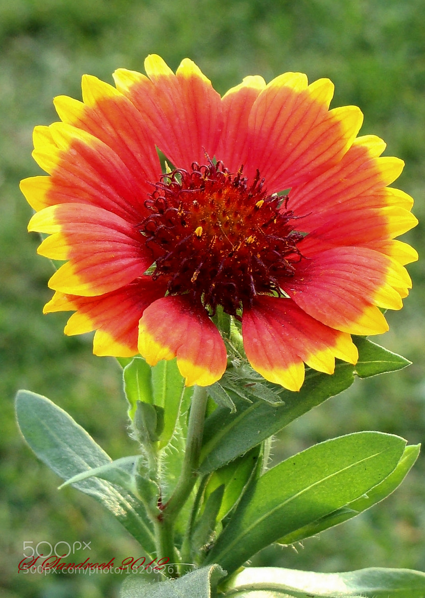 Photograph  Gaillardias or blanket flower by Silvia Sandrock on 500px
