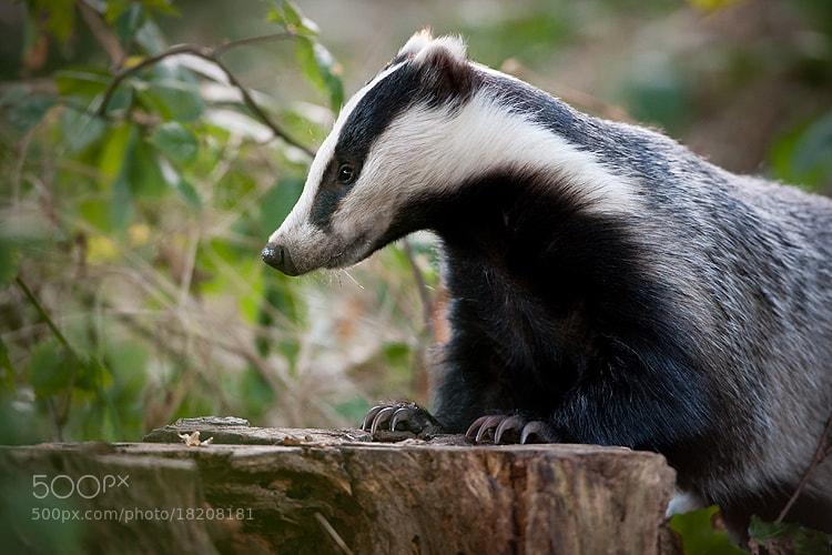 Photograph European Badger (Meles meles) by Damian Kuzdak on 500px