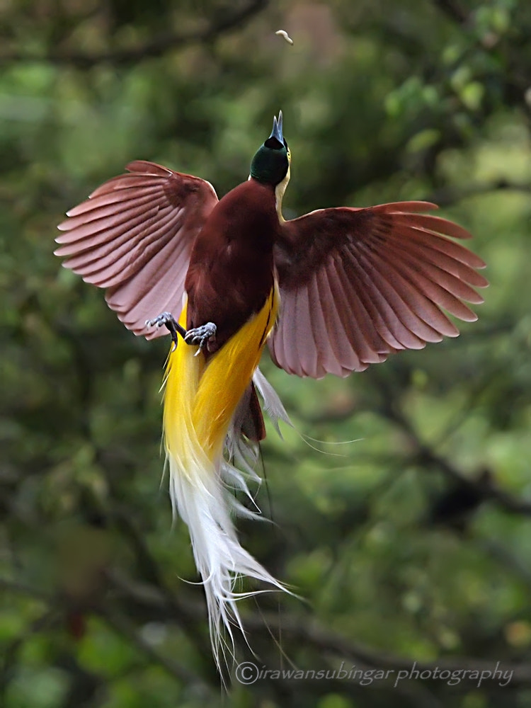 Photograph flying in ecstasy (the flight of bird of paradise) by Irawan Subingar on 500px