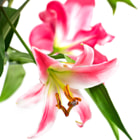Pink lily flowers on white background. selective focus