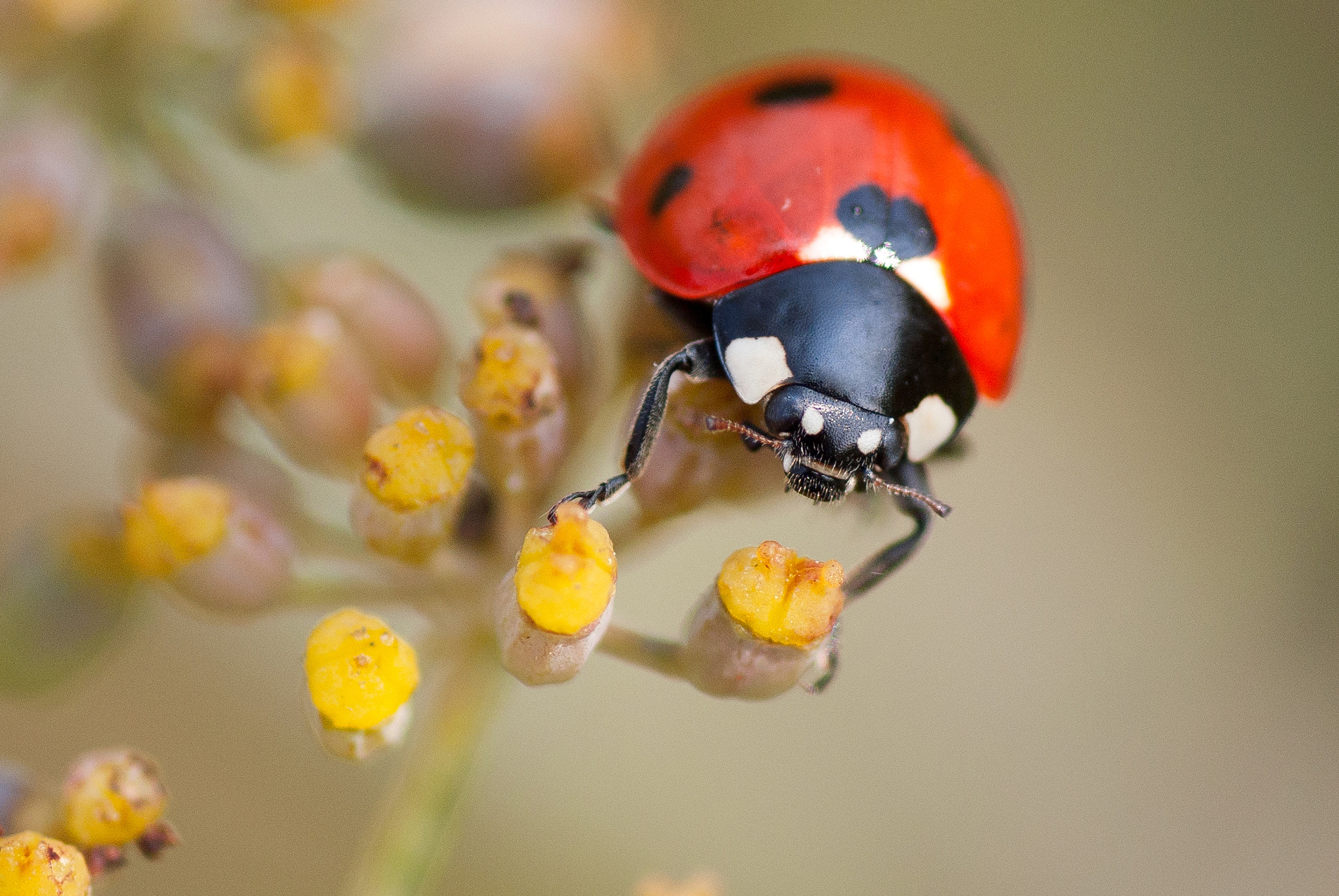 Photograph Ladybug by Tjeerd Collette on 500px