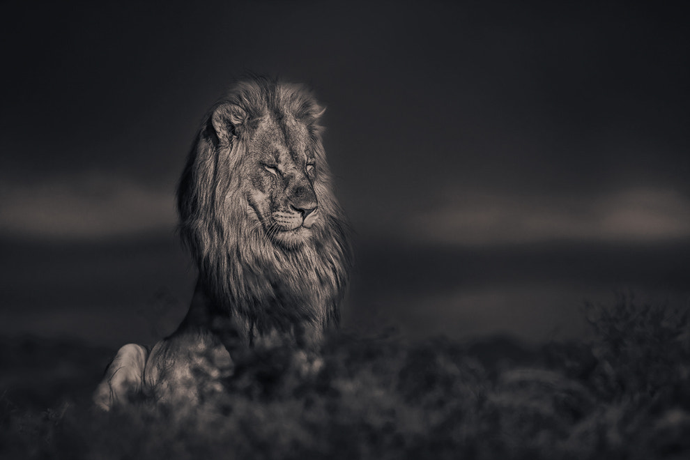Photograph lion king by Alexander Heinrichs on 500px