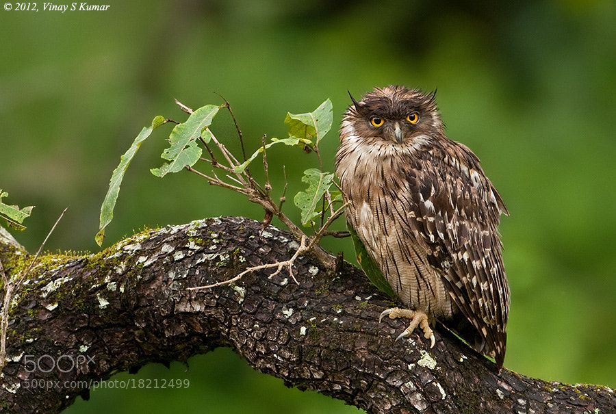 Photograph Brown Fish Owl by Vinay  S Kumar on 500px