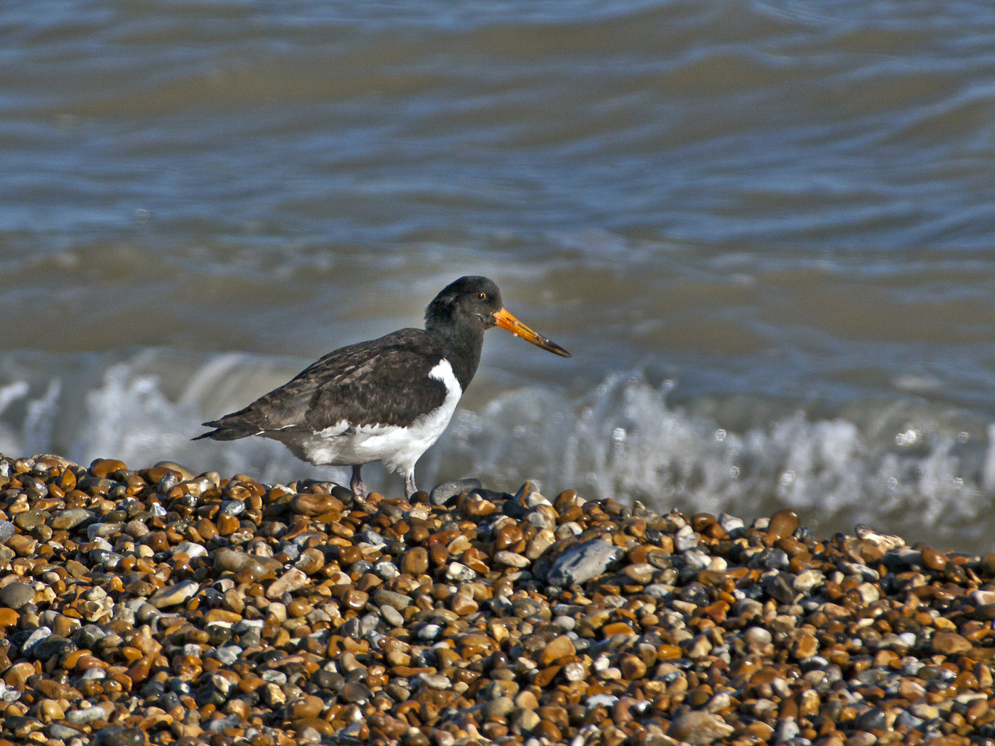 Photograph Oystercatcher (Haematopus ostralegus) by Ray Jones on 500px