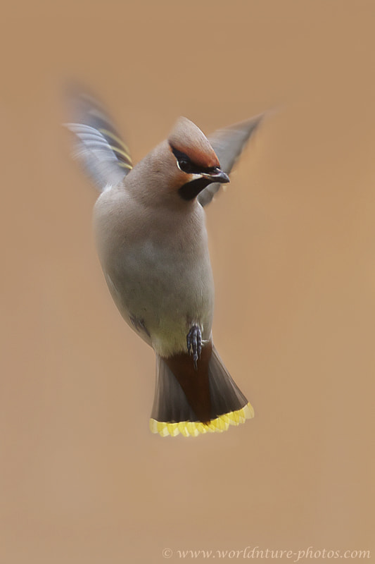 Photograph Bohemian Waxwing ( Bombycilla garulus ) by Ronald Krieger on 500px