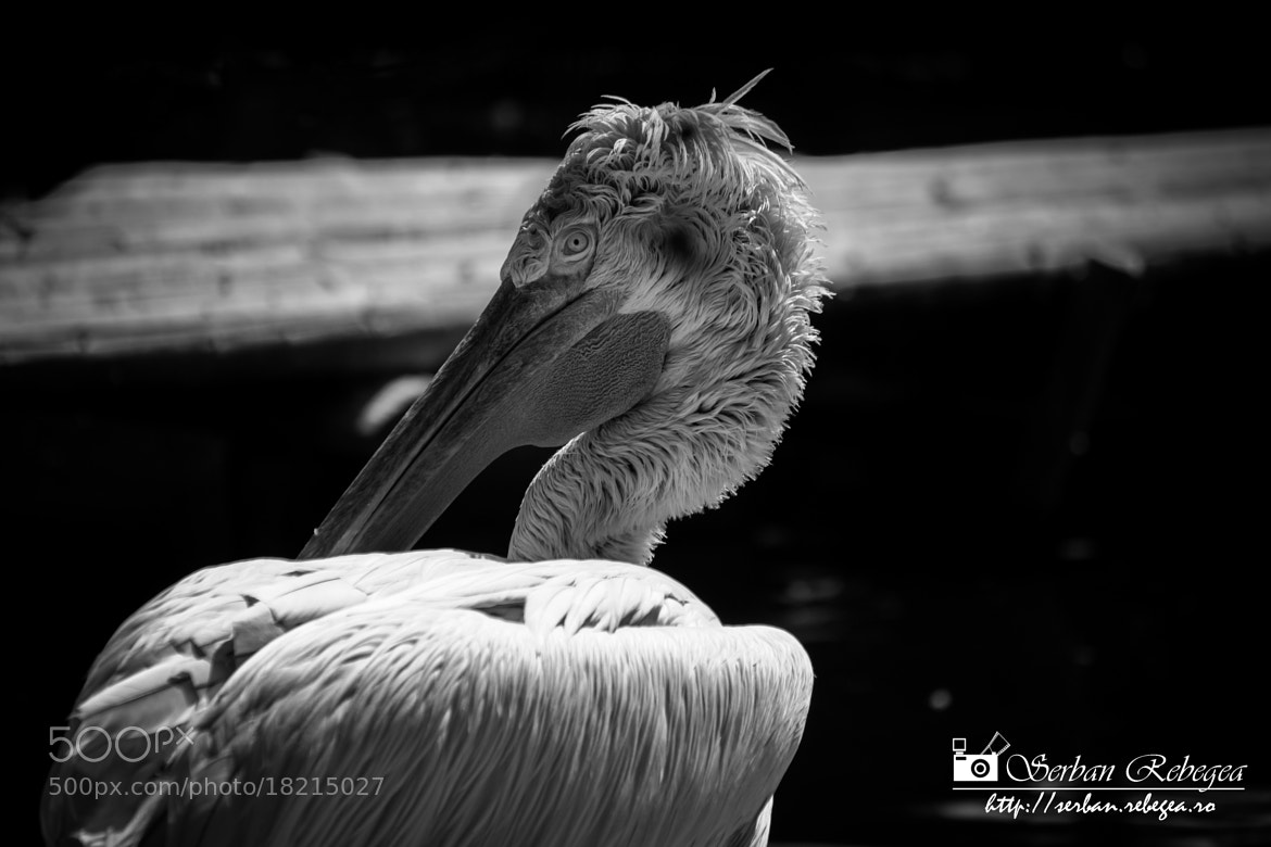 Photograph Pelican by Serban Rebegea on 500px