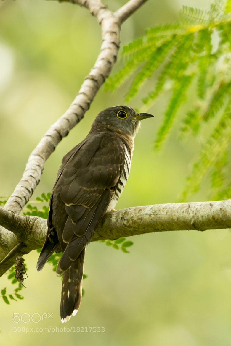 Photograph Indian Cuckoo by Allan Seah on 500px